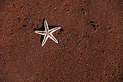 Star Fish at Red Beach<br /> Red Beach<br /> Rabida<br /> Galapagos<br /> Ecuador, South America