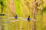 Mallard ducks, Yosemite Valley, Yosemite National Park, California USA