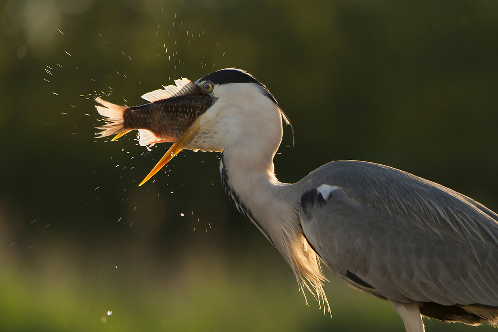 Grey heron feeding on cyprionid fish/carp species in fish farm pond, Ardea cinerea, Pusztaszer protected landscape, Kiskunsagi, Hungary