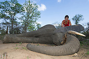 Tranquilized elephant<br /> &amp; capture team<br /> (Loxodonta africana)<br /> Elephants darted from helicopter to be relocated.<br /> Zimbabwe