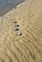 Goose tracks in the mud along the Columbia River in Southeastern Washington USA.