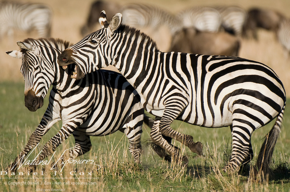 Two male Burchell's Zebra (Equus quagga burchellii) fight for the dominant roll in herd. Masa Mara National Reserve, Kenya, Africa
