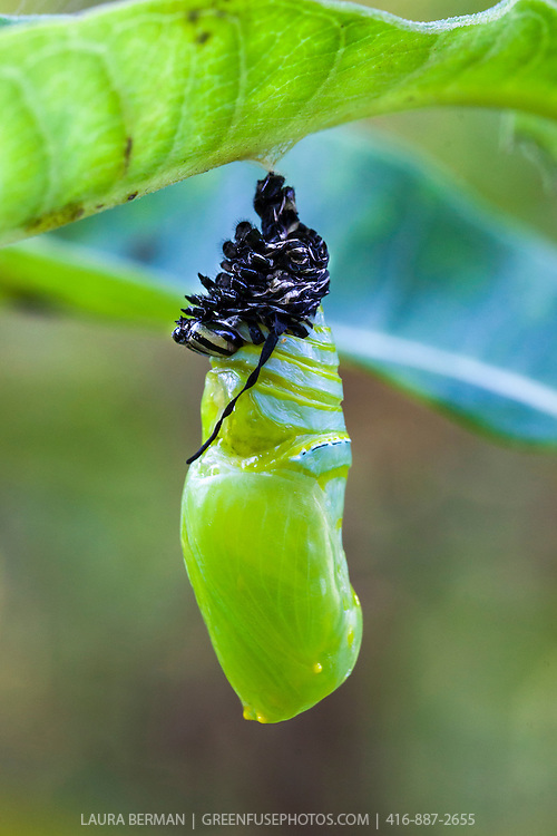 A newly created Monarch butterfly chrysalis attached to the underside of a milkweed leaf. The dark matter at the top of the cocoon is shed skin of the caterpillar, discarded as it created the cocoon.