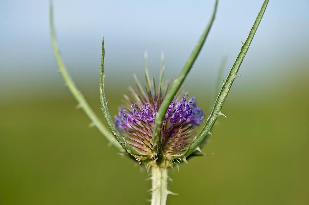 Burdock (Arctium lappa) closeup, Hortobagy National Park, Hungary