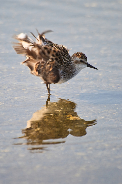 A semipalmated sandpiper (Calidris pusilla) shakes out its plumage after bathing in a shallow pool near the Mispillion Inlet, Slaughter Beach, Delaware.