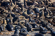 Alberto Carrera, Cape Fur Seals, Arctocephalus pusillus, Shark Alley, Geyser Rock, Dyer Island, Gansbaai, Western Cape, South Africa, Africa