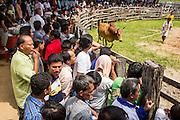 03 NOVEMBER 2012 - HAT YAI, SONGKHLA, THAILAND:  Spectators watch as bull's owner catches his bull after it lost a bullfight at the bullfighting arena in Hat Yai, Songkhla, Thailand. Bullfighting is a popular past time in southern Thailand. Hat Yai is the center of Thailand's bullfighting culture. In Thai bullfights, two bulls are placed in an arena and they fight, usually by head butting each other until one runs away or time is called. Huge amounts of mony are wagered on Thai bullfights - sometimes as much as 2,000,000 Thai Baht ($65,000 US).     PHOTO BY JACK KURTZ