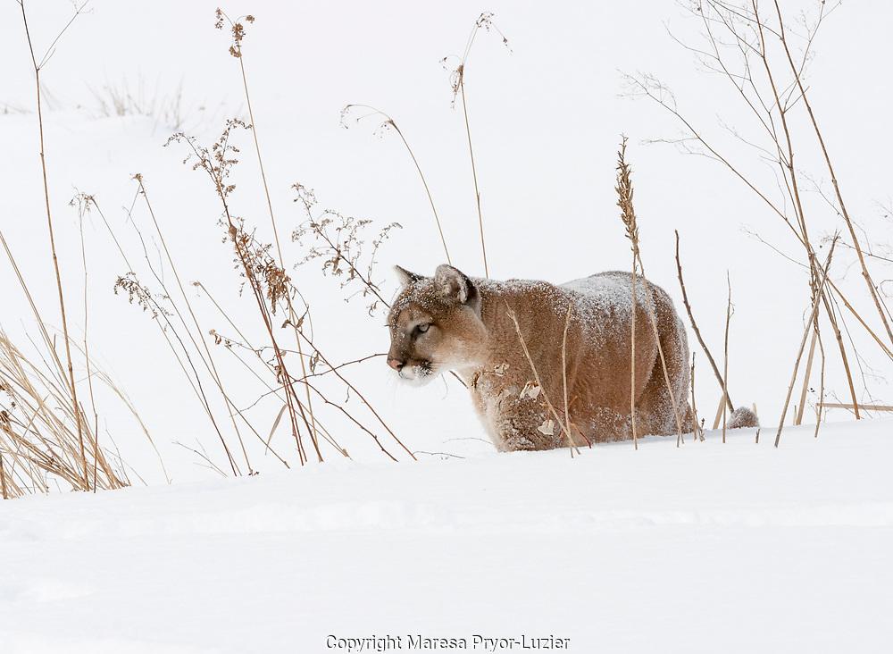 Mountain lion in snow,<br /> Felis concolor,<br /> captive situation