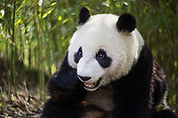 Giant panda, Ailuropoda melanoleuca, portrait while eating, sitting upright in a bamboo grove.