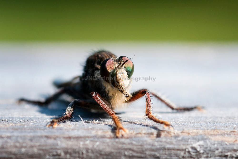 Robber flies have stout, spiny legs, a dense moustache of bristles on the face, and two large compound eyes.  They attack bees and other flying insects. (Quebec, Canada)