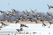 Greater White-fronted Geese, Anser albifrons, Brown County, South Dakota