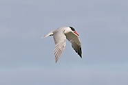Caspian Tern photos
