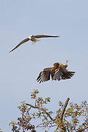 After perching in the wrong spot, a red-shouldered hawk is dive-bombed by a white-tailed kite