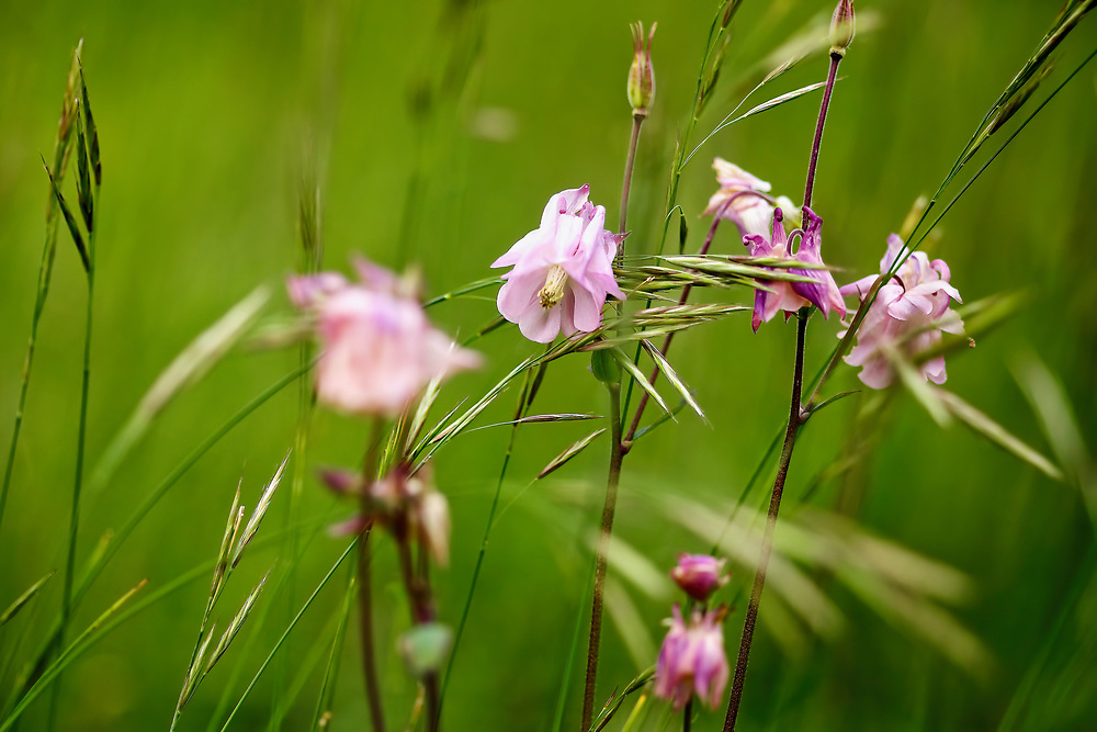 Dance of the Wild Flowers.<br /> As I sat in the long grasses of West Wycombe hill I was <br /> mesmerised by the dancing grasses with these delicate pink flowers.