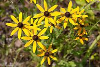 Black-eyed Susan, (Rudbeckia hirta), Houston County, Texas