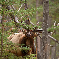 bull elk trophy rutting