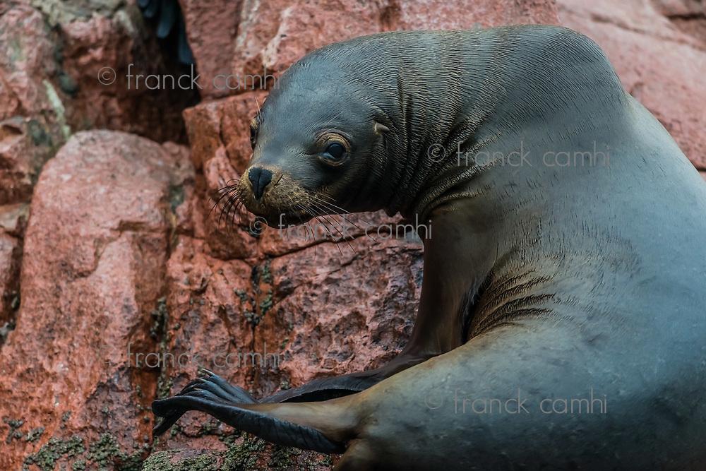 Sea lion in the peruvian coast at Ballestas islands Peru