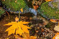 Stream runs through autumn colored Bigleaf Maple [Acer macrophyllum] leaves; Yosemite Valley, Yosemite National Park