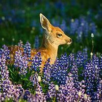 Wildlife in Rainier