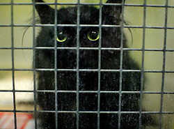 UK ENGLAND LONDON 3MAR09 - A lone cat in a kennel awaits pick-up by its owner at the Heathrow Animal Reception Centre, run by the City of London Corporation. The Heathrow Animal Reception Centre - formerly known as the Animal Quarantine Station - is part of the Veterinary Sector of the City of London Environmental Services Directorate and has over the past 25 years established itself as a world leader in the care of animals during transport...jre/Photo by Jiri Rezac..© Jiri Rezac 2009