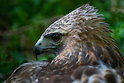 Female, red-tailed hawk roused from a nesting slumber