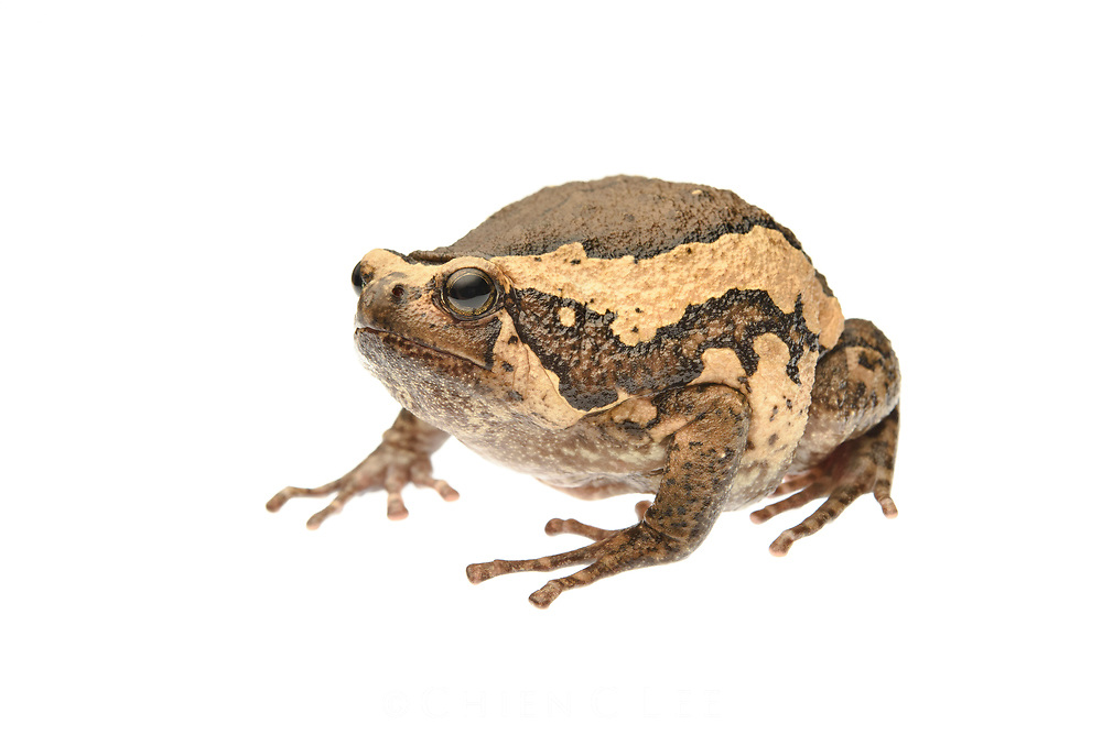 Banded Bullfrog (Kaloula pulchra), an introduced frog to Borneo. Sarawak, Malaysia.