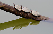 The endangered Assam roofed turtle (Pangshura sylhetensis) from the river Diphlu in Kaziranga, Assam, India.