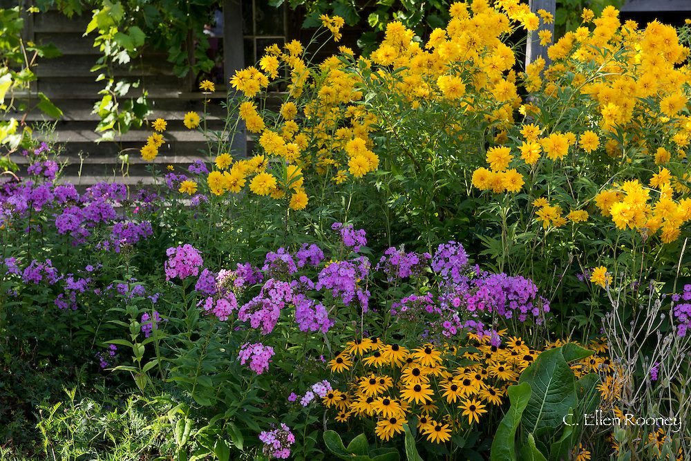 A combination of late summer blooms including pink Phlox paniculata, Lacinata 'Hortnensia'<br /> (Golden Glow), and Rudbeckia hirta (Black-eyed Susan), a herbaceous perennial in a border in front of a barn.  Berne, New York State, U.S.A.
