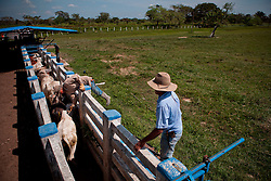 Dec. 14, 2011 - Yopal, Colombia. llaneros (cowboys) inject cattle with medicine. © Nicolas Axelrod / Ruom