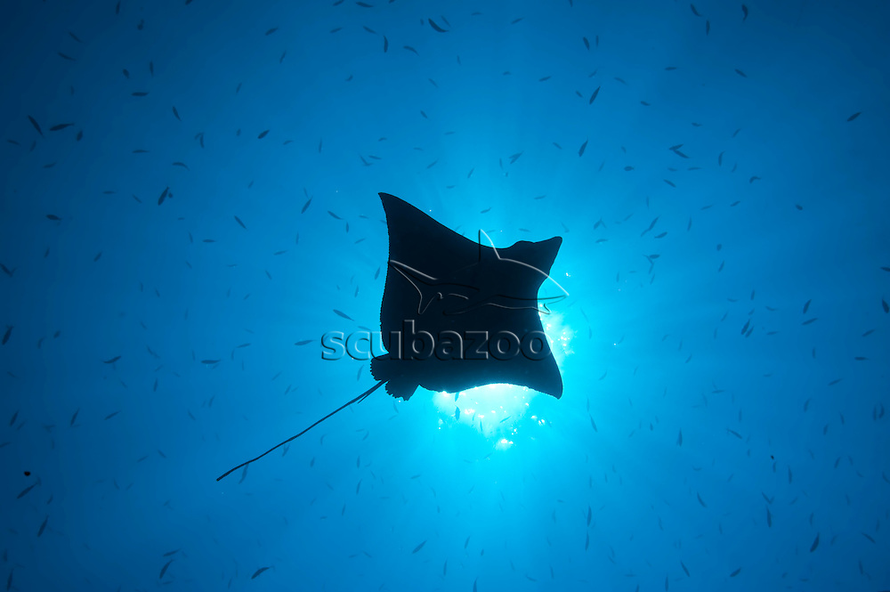 Silhouette of a Spotted Eagle Ray, Aetobatus narinari, swimming through school of fishes, profile from below, Vaavu Atoll, The Maldives