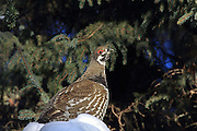 Male Spruce grouse in winter habitat