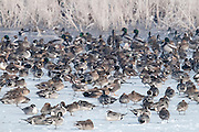 Northern Pintails, Anas acuta, Mallard, Anas platyrhynchos, Gadwall, Anas strepera, Brown County, South Dakota