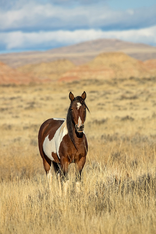 At 17 years old, the mare Shadow, has spent her long life at McCullough Peaks. Still vibrant and beautiful, Shadow is currently a member of the stallion, Tyke's band.