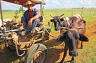 Man in a horse cart leading cows in Hershey, Mayabeque Province, Cuba.