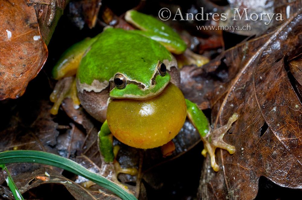 European Treefrog (Hyla arborea), Switzerland Image by Andres Morya