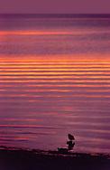 Shorebird, shoreline of Florida Bay before sunrise, Flamingo, Everglades National Park, Homestead, Florida