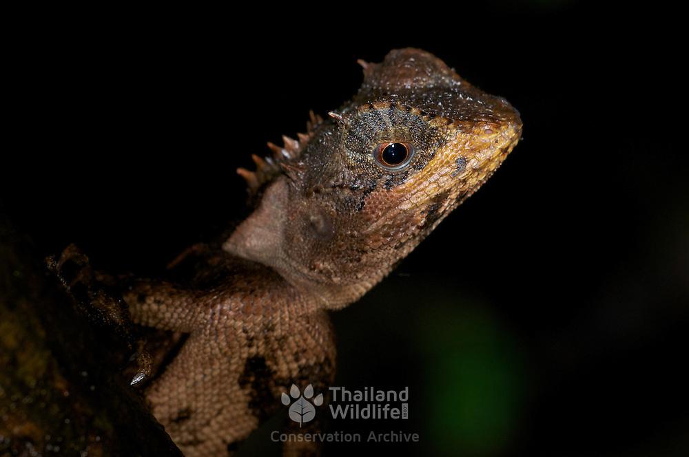 Cross-bearing tree lizard, Acanthosaura crucigera, Huai Kha Khaeng, Thailand.