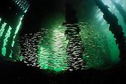 This big swarm of three-spined sticklebacks (Gasterosteus aculeatus) lives in Kiel Fjord. It migrates to fresh water for spawning. Other populations of this species occur exclusively in fresh water. Kiel Fjord, Baltic Sea, Germany. | Dieser große Schwarm Dreistachliger Stichlinge (Gasterosteus aculeatus) ist in der Kieler Förde beheimatet. Er lebt sowohl im Süß- als auch im Salzwasser, wobei er zur Laichzeit ins Süßwasser wandert. Andere Populationen der gleichen Art leben ausschließlich im Süßwasser. Kieler Förde, Ostsee, Deutschland.