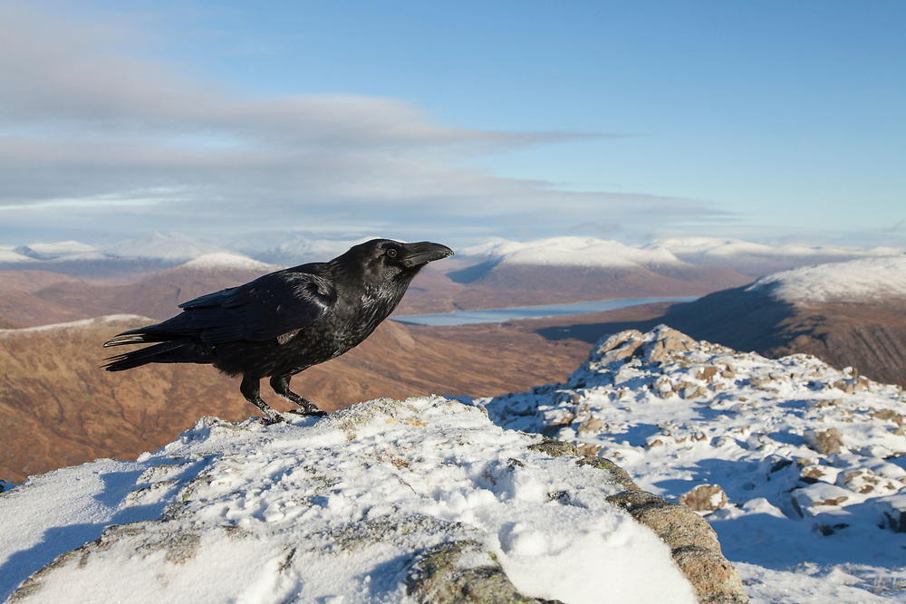 Raven (Corvus corax) perched on summit cairn in Glen Coe, Scotland looking for food scraps left by walkers