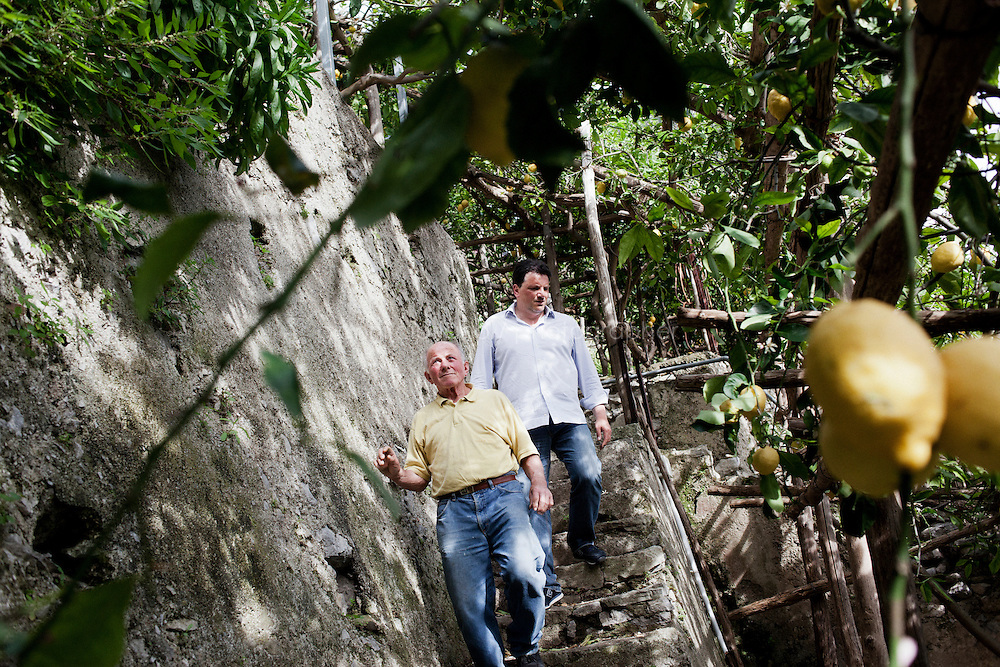 "AMALFI, ITALY - 29 APRIL 2013: (L-R) Luigi Aceto (78), nicknamed Gigino, walks down the stairs with his son Salvatore in his lemon field in Amalfi, Italy, on March 29th 2013...Mr. Aceto was born and raised in these lemon groves, where his family has been working for centuries, first as tenant farmers, then as landowners. In 1992, Luigi Aceto co-founded with his children the The Amalfi Citrus-Fruit Processing Co-operative, which initiated a campaign to increase awareness of their particular ""Amalfi Sfusato"" lemon, the quality and characteristics of which are unique in the world...Today, family businesses with fewer than 15 employees make up 90 percent of Italy's economy. The Acetos make a niche product ? world-famous lemons, prized for their low acidity and delicate flavor ? and like many small Italian businesses, they are reluctant to grow, preferring quality over quantity, tradition over expansion. Mr. Aceto wants the lemon groves and the business to stay in the family."