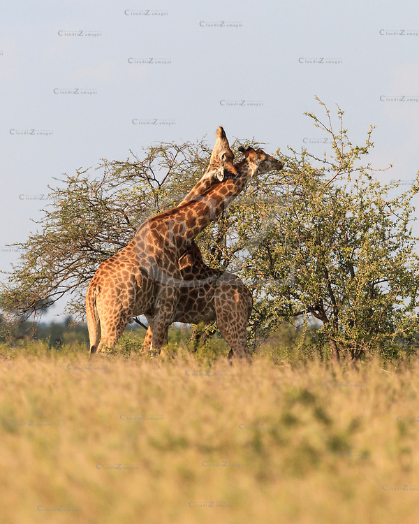 Fighting Giraffes,  Moremi National Park, Botswana, Africa<br />