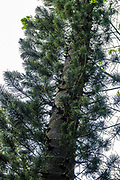 The Cook pine (Araucaria columnaris, a species of conifer in the family Araucariaceae) is also known as the Coral reef araucaria, New Caledonia pine, or columnar araucaria. The tree is endemic to New Caledonia in the Melanesia region of the southwestern Pacific Ocean, first classified by botanists of Captain James Cook's second voyage to circumnavigate the globe. Photo is from Hawaii Tropical Botanical Garden, Papaikou, Big Island, Hawaii, USA.