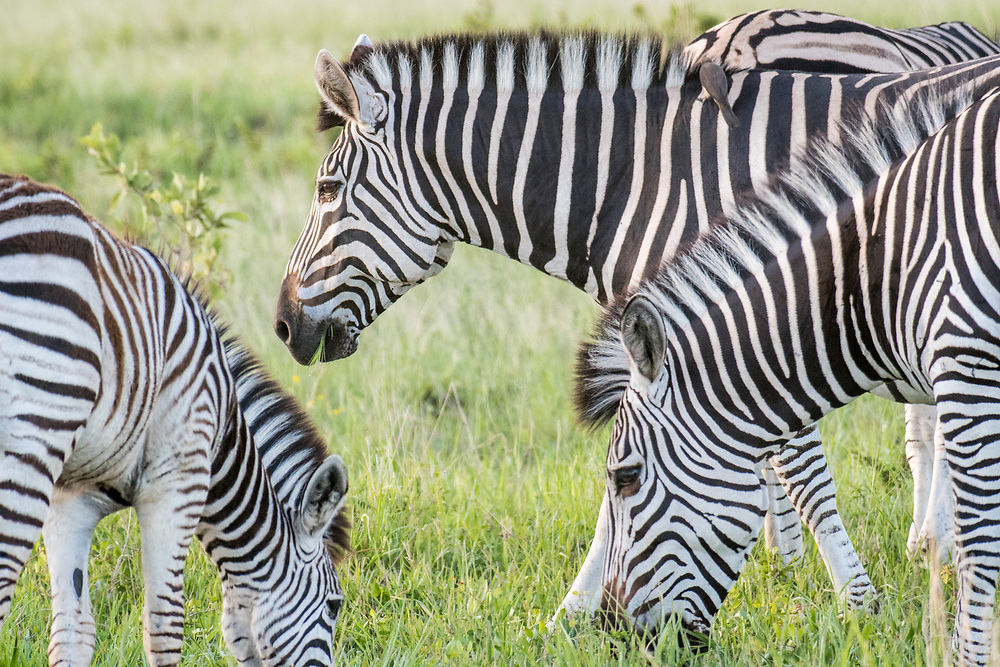 A close up shot of a zebra grazing on the grasslands of the savanna in Hwange National Park. Hwange, Zimbabwe.