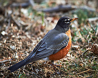 American Robin. Image taken with a Nikon Df camera and 600 mm f/4 VR lens (ISO 100, 600 mm, f/4, 1/320 sec).