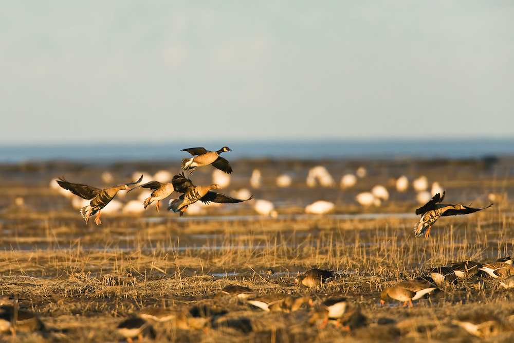Greater White-Fronted Geese (Anser albifrons) and Canada Geese (Branta canadensis) getting ready to land to forage on Susitna Flats State Game Refuge near Beluga  in Southcentral Alaska during the spring migration. Evening.