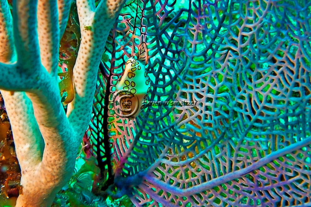 Flamingo Tongue, Cyphoma Gibbosum, on Grogornian fan Grand Cayman