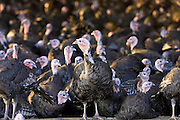 Free-range Norfolk bronze turkeys inside their barn after  roaming at Sheepdrove Organic Farm , Lambourn, England