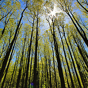 """""""A Shining Star""""<br /> <br /> Beautiful sunshine through tall trees in the forests of the Blue Ridge Mountains of Virginia!!<br /> The Blue Ridge Mountains by Rachel Cohen"""