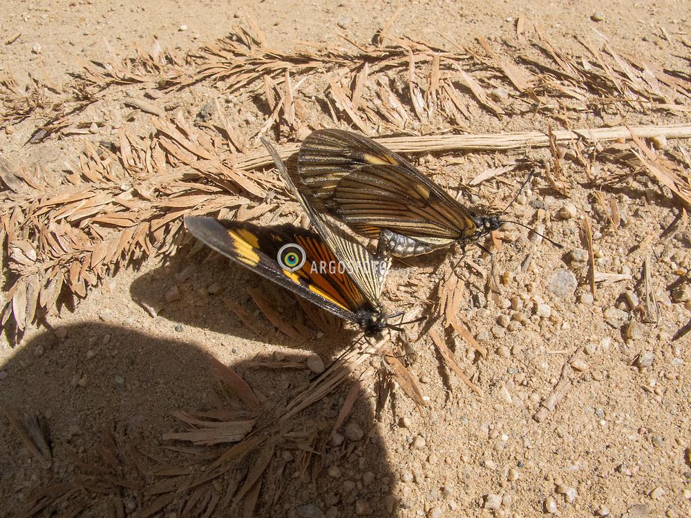 Acasalamento de borboletas. Goncalves, Minas Gerais. // butterflies mating. Goncalves, Minas Gerais. Marcos Issa - MG - 2011