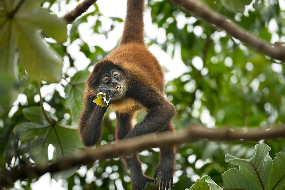 Spider Monkey eating in rain forest of Costa Rica
